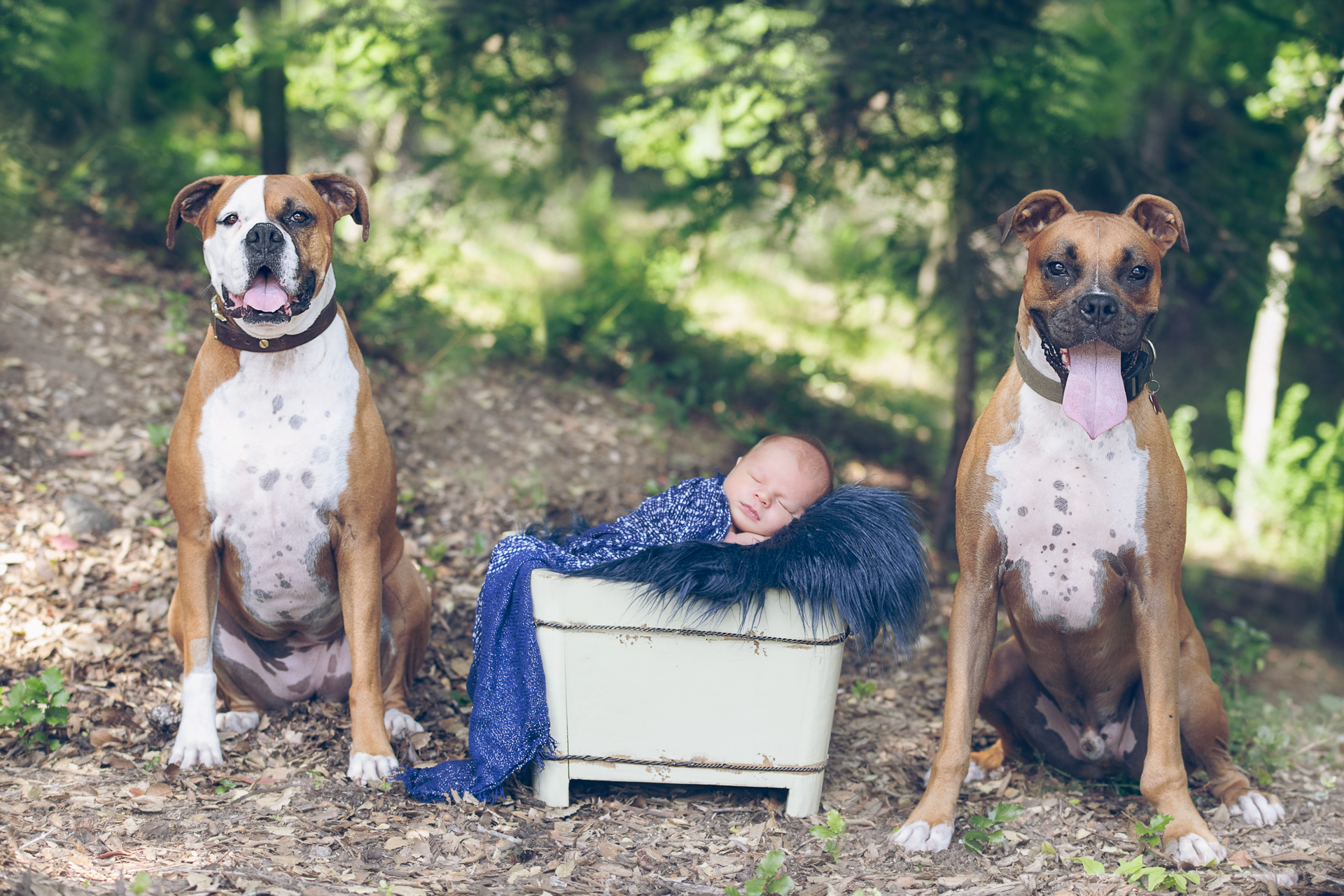 Newborn posing in basket prop with his two family dogs, one dog on each side.